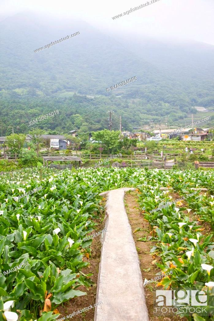 Stock Photo: Calla Lily, Mt.Yang-ming, Yang-ming Mountain, Yangmingshan, Taipei, Taiwan, Asia.