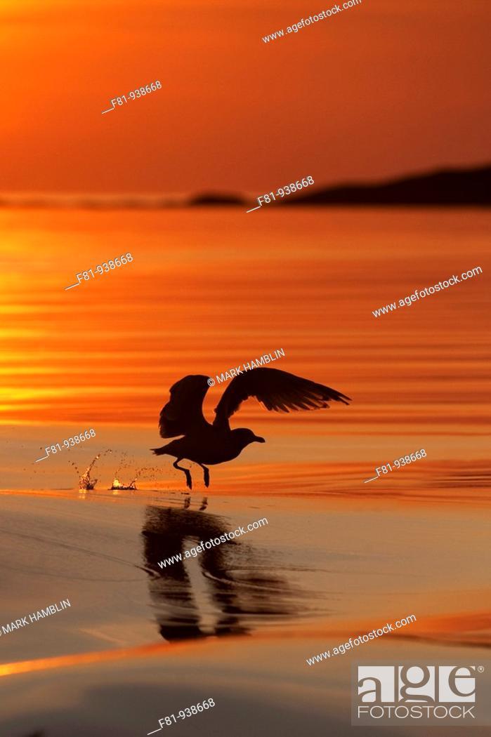 Stock Photo: Herring gull Larus argentatus silhouetted in flight at sunset  August 2009.
