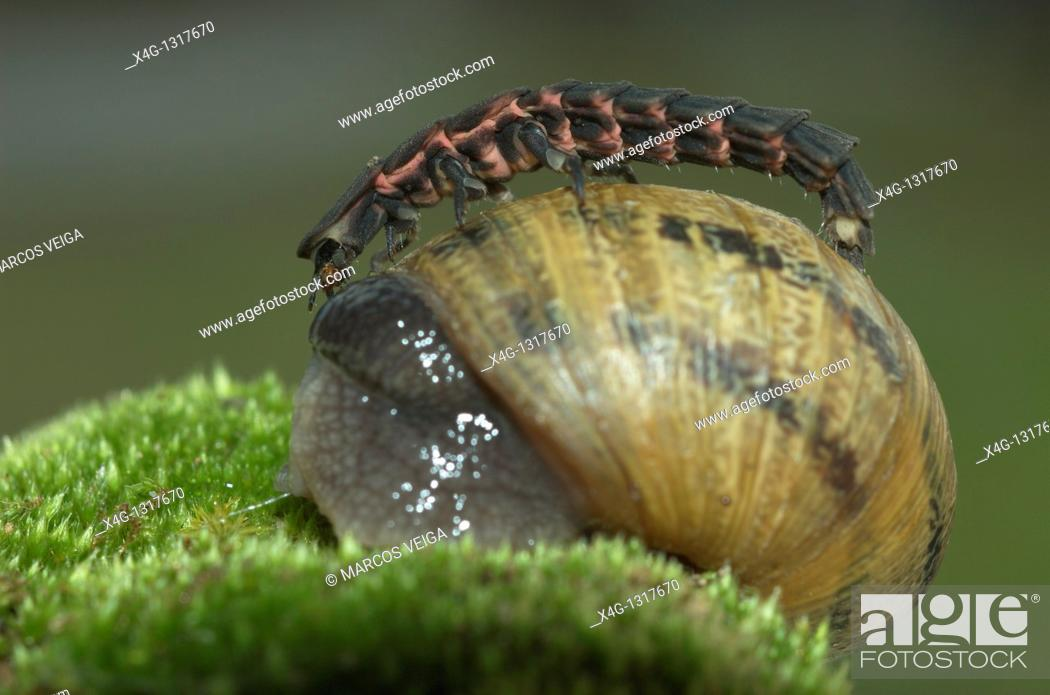 Stock Photo: Glow-worm Lampyris noctiluca attacking a Garden snail Helix aspersa.