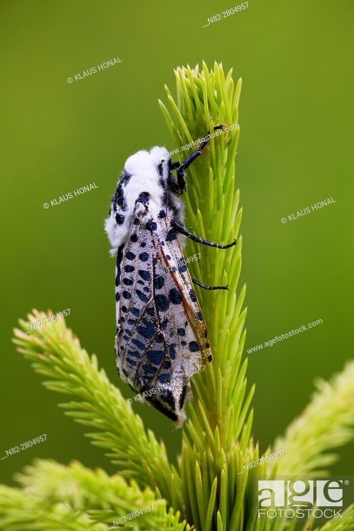 Stock Photo: Black Arches or Nun Moth (Lymantria monacha), female resting on young sprout of a spruce - West Pomeranian Voivodeship/Poland.