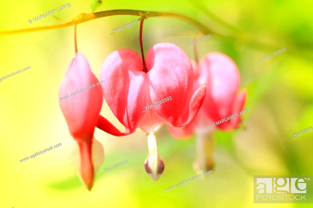 Stock Photo: Bleeding Heart flowers (Dicentra spectabilis) macro shot.