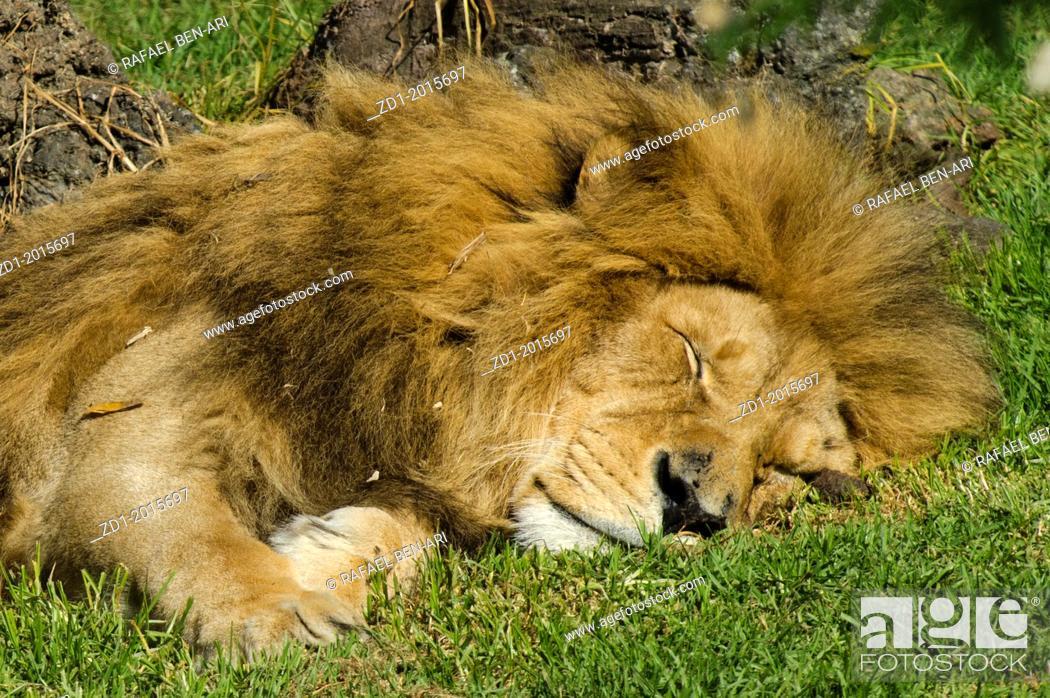 Stock Photo: Sleepy African lion on a green gerass.