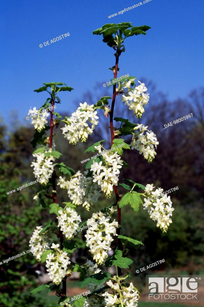Red flowering currant or winter currant ribes sanguineum white stock photo red flowering currant or winter currant ribes sanguineum white icicle grossulariaceae mightylinksfo