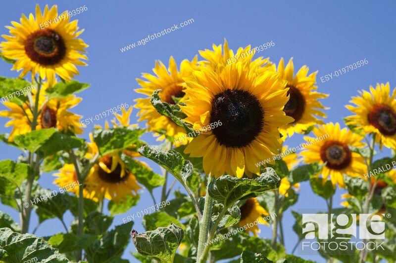 Stock Photo: Blühende Sonnenblumen (Helianthus).
