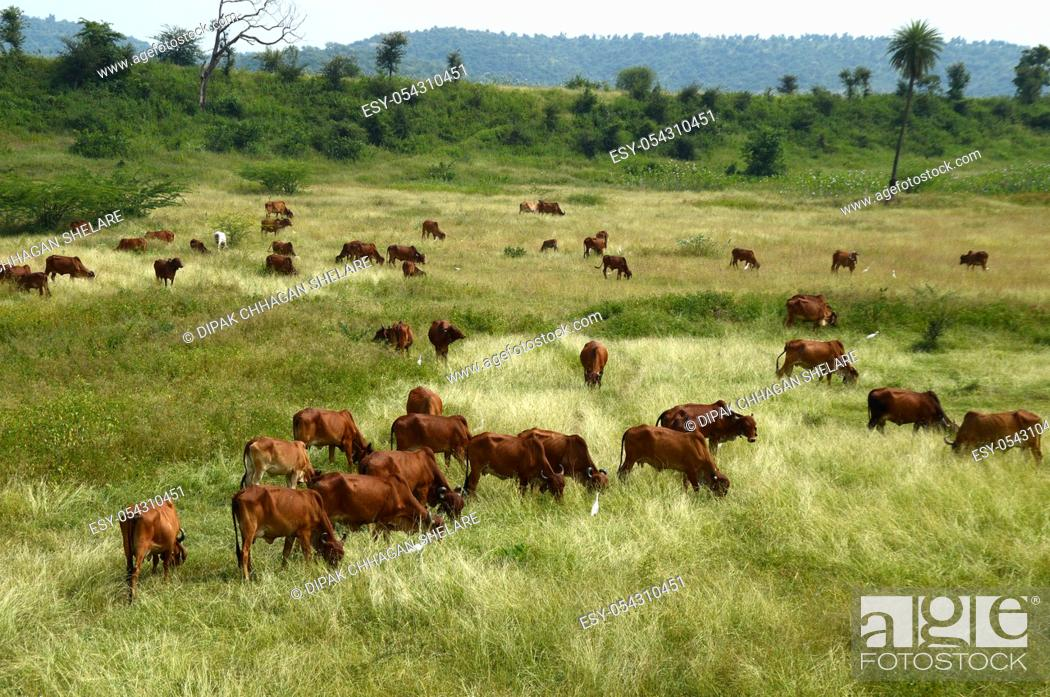 Stock Photo: Cows and bulls are grazing on a lush grass field.