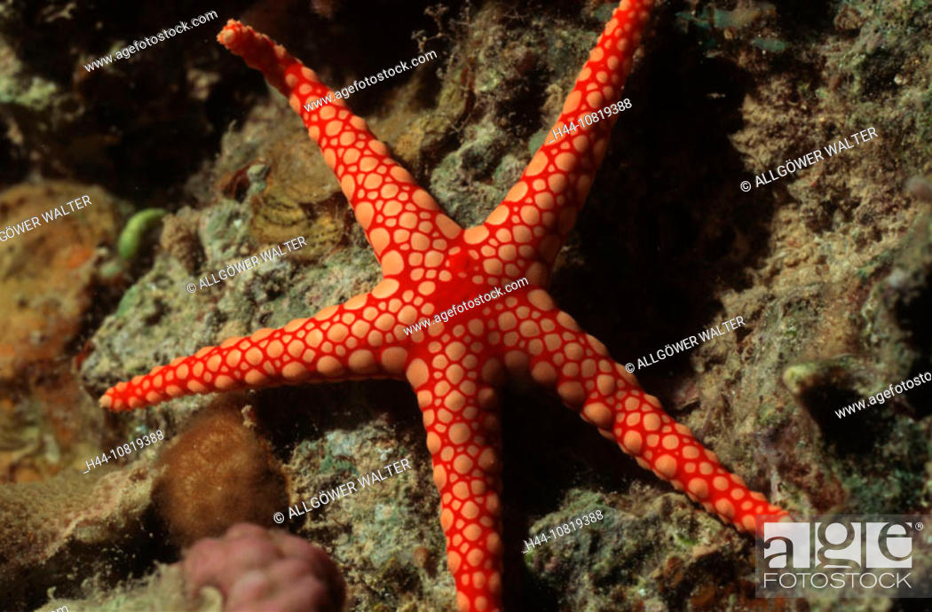 Stock Photo: Asteroidea, fauna, fish, Fromia monilis, coral reefs, marine fishes, nature, oceans, red mesh star, Red Sea, starfishe.