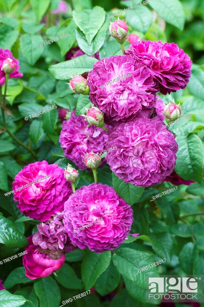 Rosa Cardinal De Richelieu Gallica Rose Stock Photo Picture And