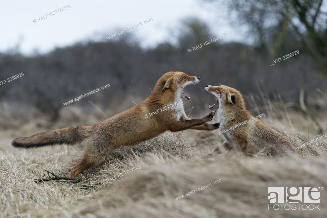 Stock Photo: Red Foxes / Rotfuechse ( Vulpes vulpes ), two adults, in agressive fight, fighting, threatening with wide open jaws, attacking each other, wildlife, Europe.