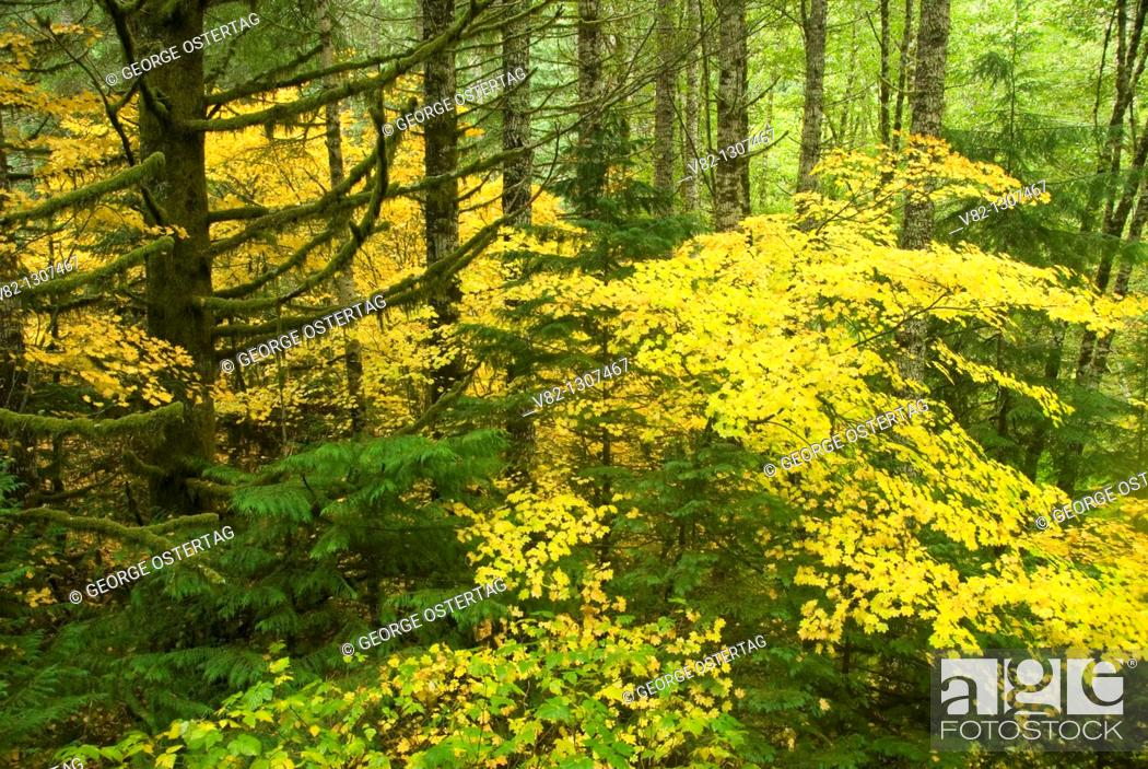 Stock Photo: Coast Range forest with yellow vine maple, Clatsop State Forest, Oregon.