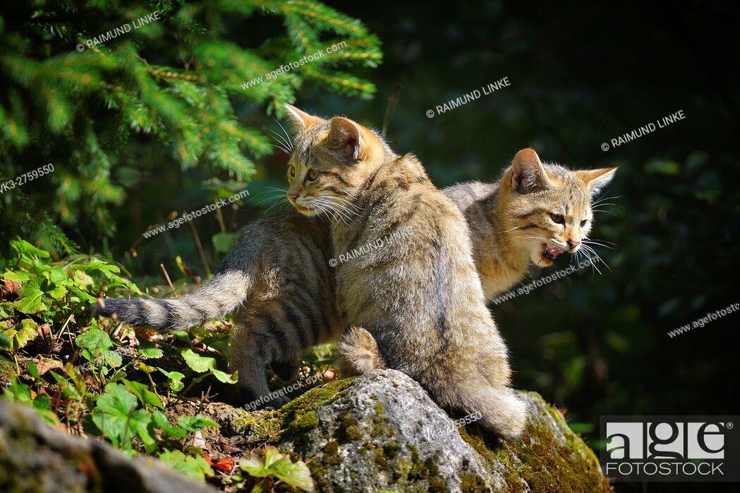 Imagen: Wildcat, Felis silvestris, two Kittens, Germany.