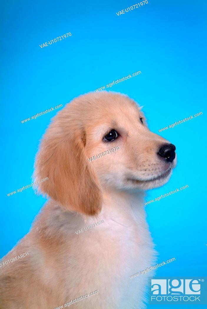 Stock Photo: canine, domestic animal, closeup, close up, looking forward, companion, golden retriever.