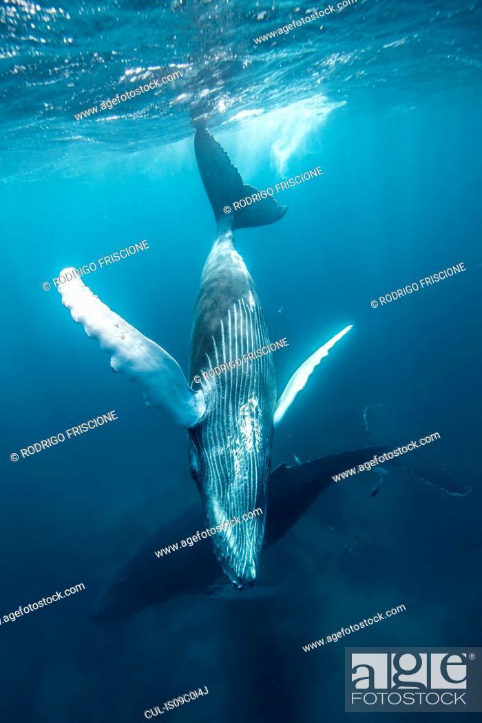 Stock Photo: Humpback whale mother and calf cruise close to sea surface, Punta Baja, Baja California, Mexico.
