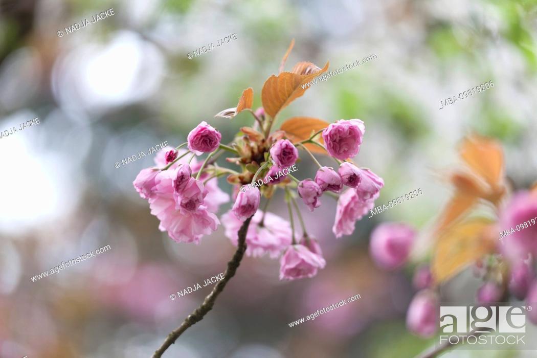 Stock Photo: Branch with flower buds of an ornamental cherry, close-up, prunus serrulata.