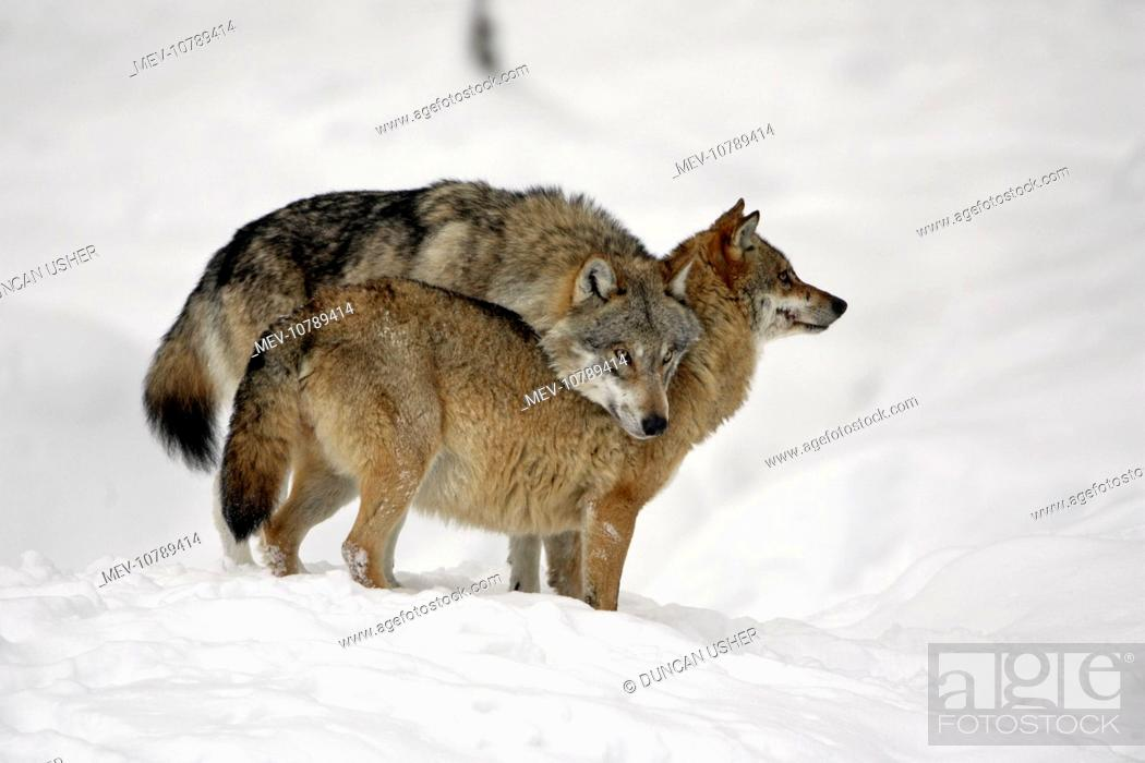 European Wolf - alpha male showing affection towards pack