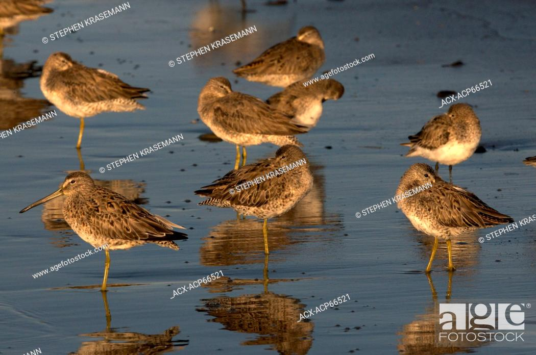 Stock Photo: Short-billed Dowitchers (Limnodromus griseus), on shoreline of Intracoastal Waterway in Cameron, Louisiana, United States of America.