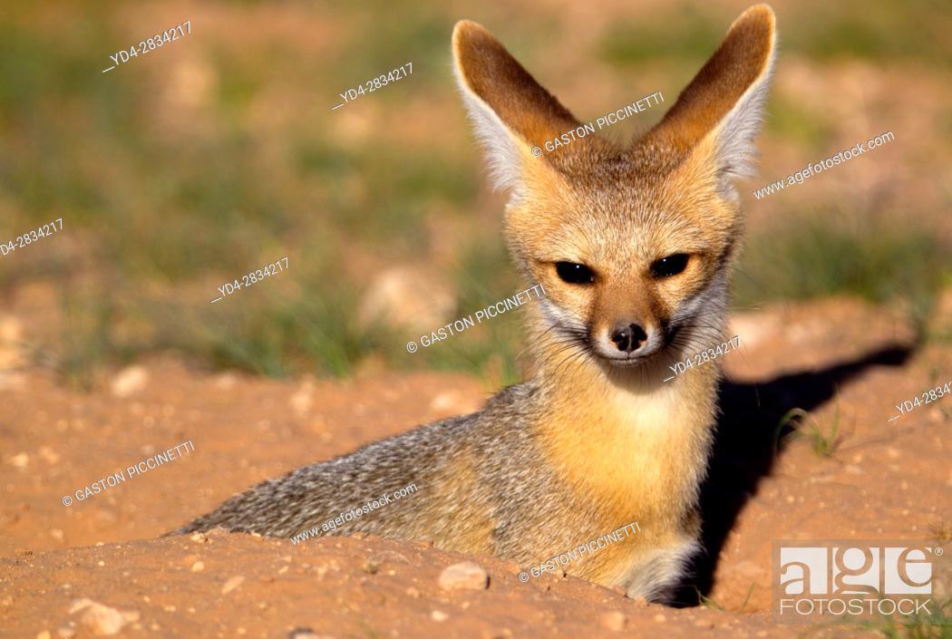 Stock Photo: Cape Fox (Vulpes chama), Kgalagadi Transfrontier Park, Kalahari desert, South Africa.