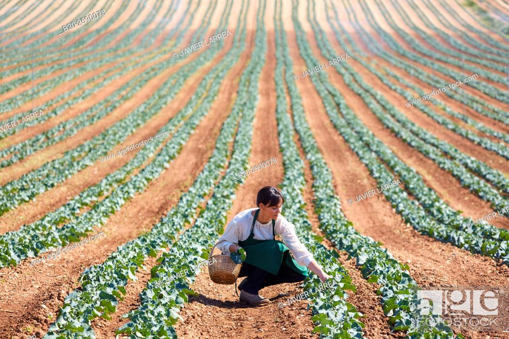 Stock Photo: Farmer, Broccoli, Agricultural field, Funes, Navarre, Spain.