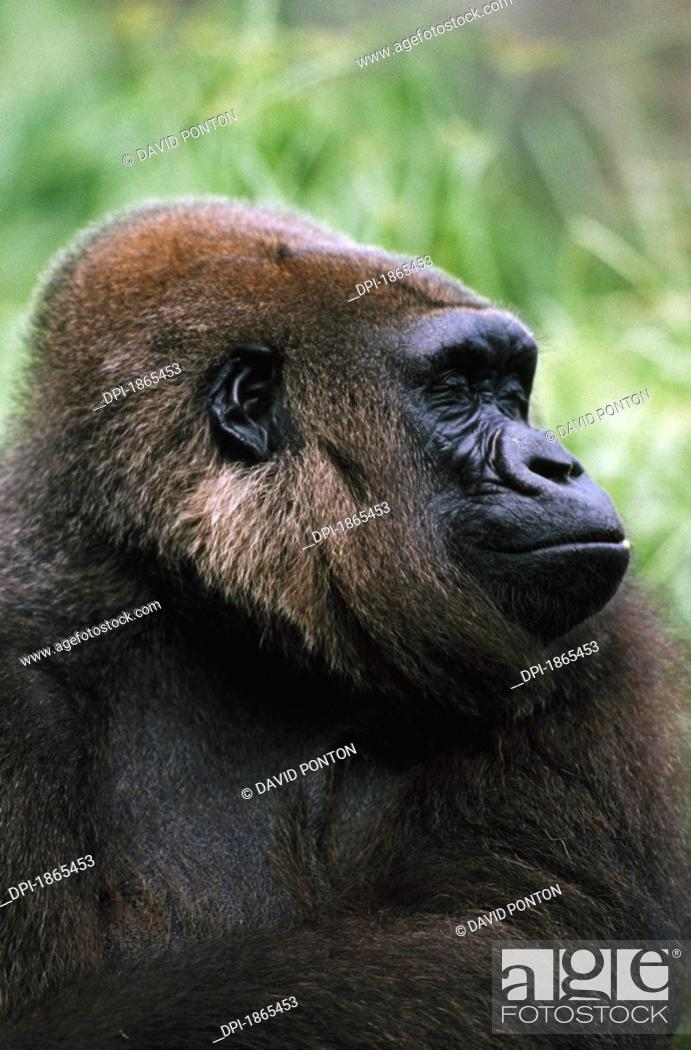 Stock Photo: Gorilla profile portrait.
