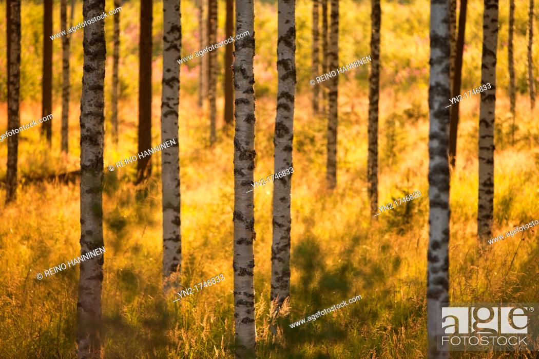 Stock Photo: Young birch, betula, trees at evening sun. Location Suonenjoki Finland Scandinavia Europe.