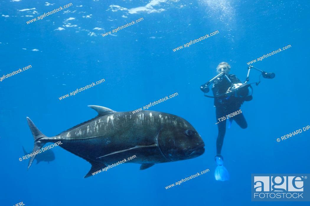 Stock Photo: Giant Trevally and Scuba diver, Caranx ignobilis, Christmas Island, Australia.