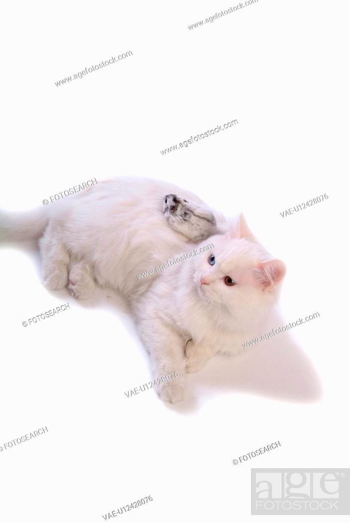 Stock Photo: domestic, pearl, feline, turkish angora, cat, rodent, hamster.