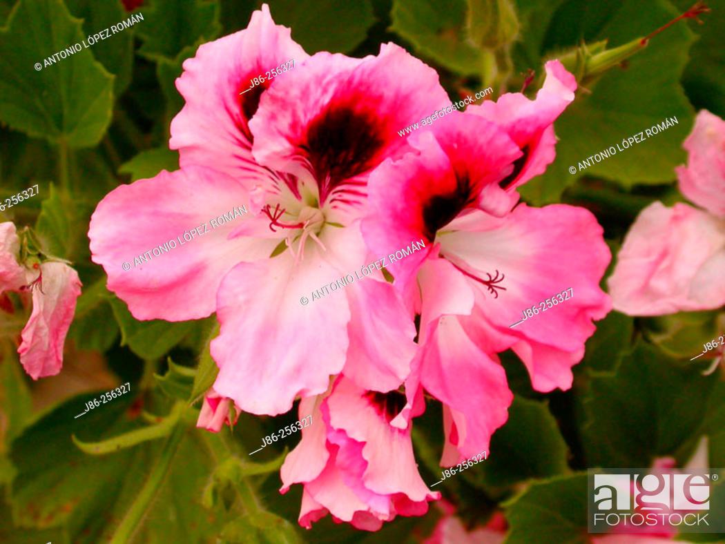 Stock Photo: Geranium (Pelargonium sp.).