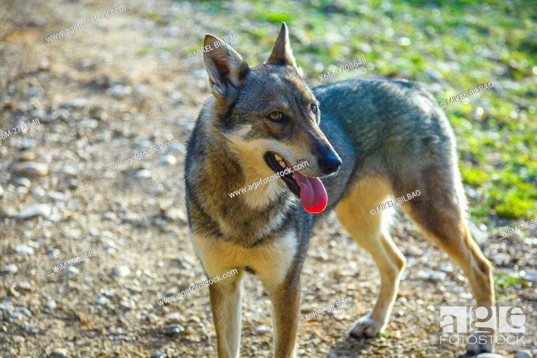 Stock Photo: Czechoslovakian wolfdog.