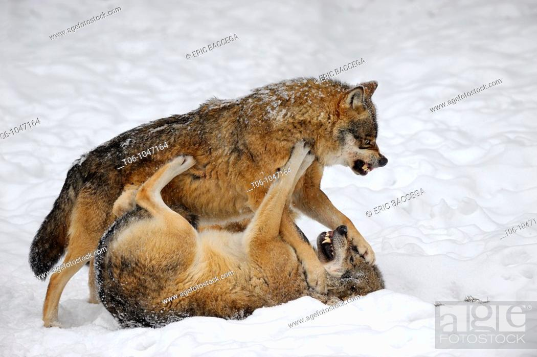 Stock Photo: European grey wolves fighting Canis lupus, captive  Bayerischerwald National Park, Germany.
