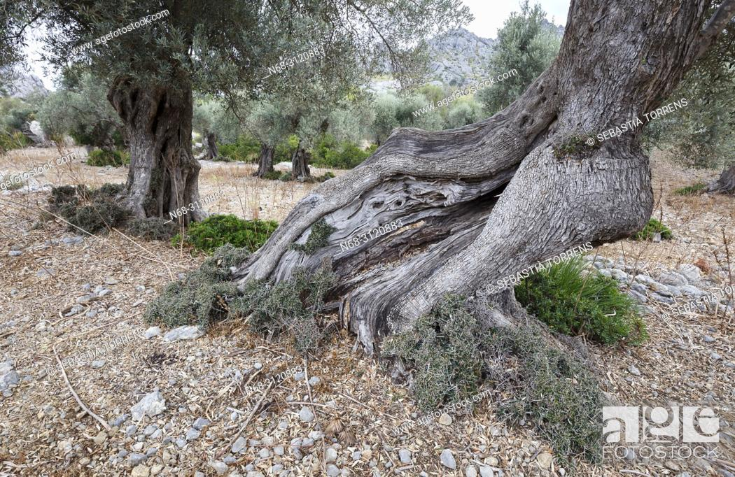 Stock Photo: Olive tree at Mortitix, Escorca, Majorca, Balearic Islands, Spain.