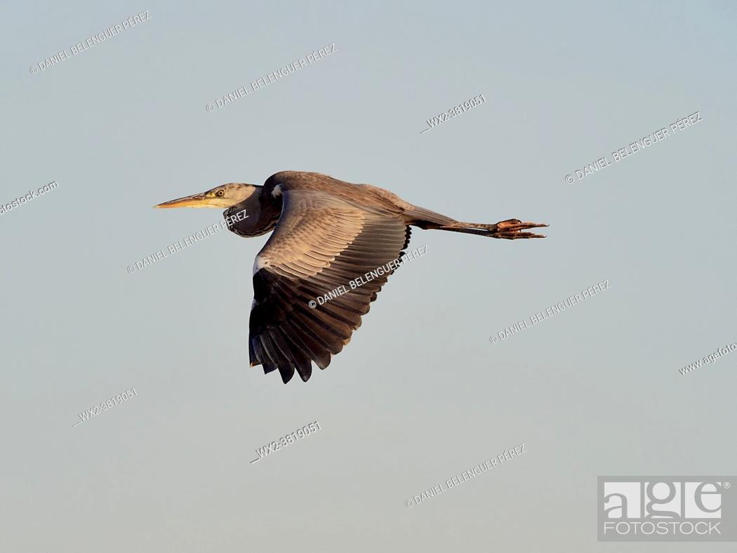 Stock Photo: Grey heron (area cinerea) flying near el Perelló, Albufera de Valencia nature reserve, Valencia, Spain.