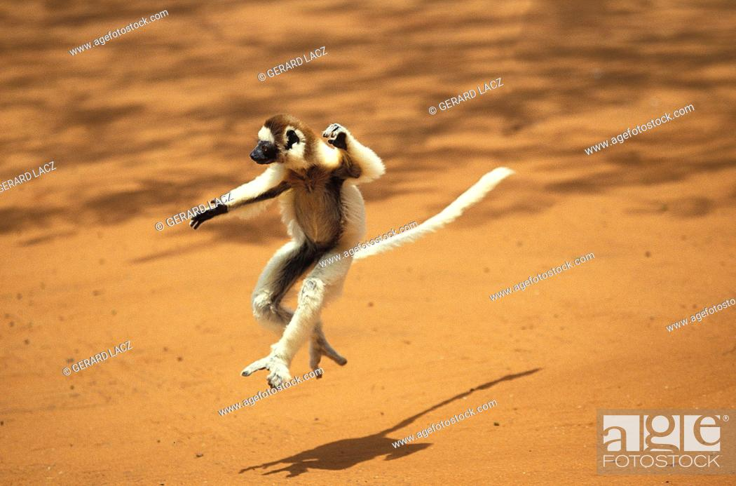 Stock Photo: Verreaux's Sifaka, propithecus verreauxi, Adult Hopping across open Ground, Berent Reserve in Madagascar.