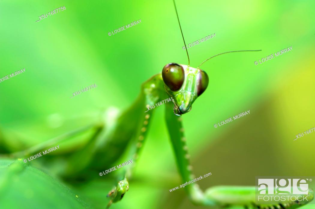 Stock Photo: Female Green praying mantis  THis insect even has a spot on its wing to resemble disease spots on the plants on which it feeds  Hierodula sp.