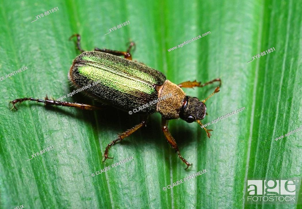 Stock Photo: Scarab Beetle.