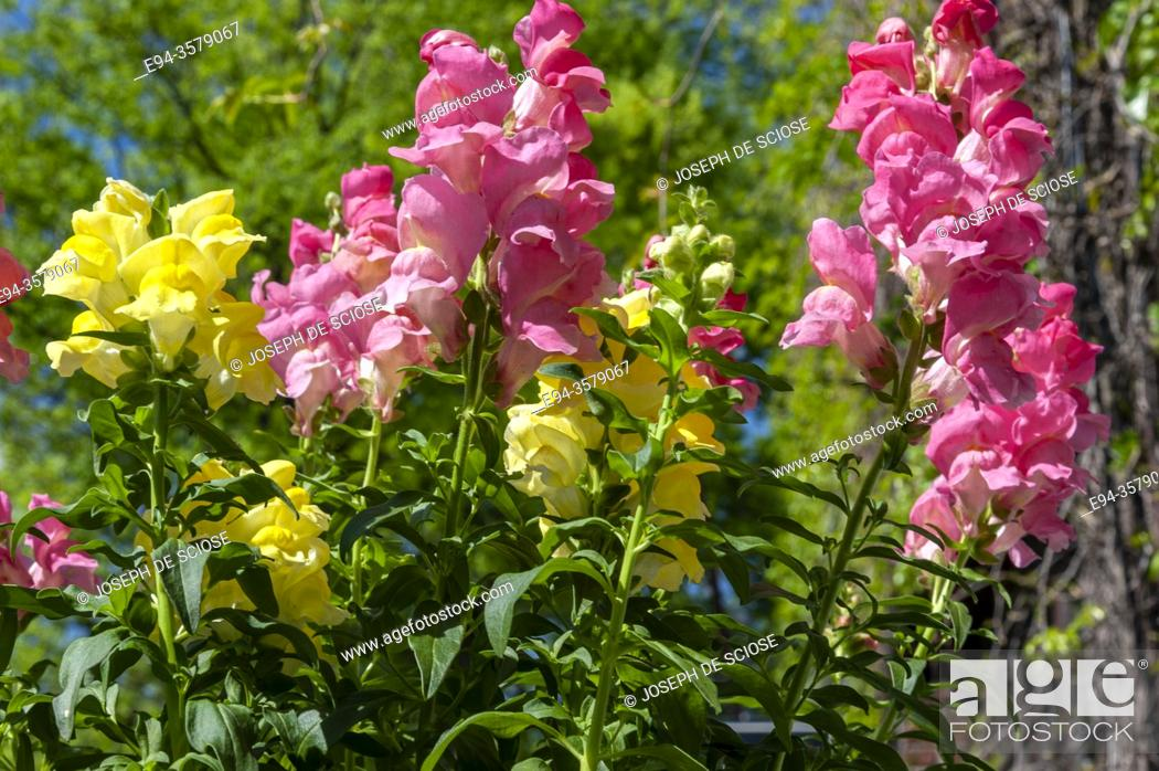 Stock Photo: A collection of pink and yellow snapdragon flowers in the spring.