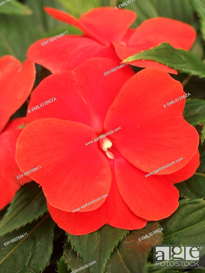 Stock Photo: Impatiens sp.