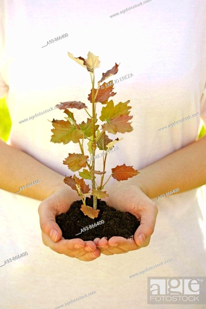 Stock Photo: planting a poplar (populus sp.).