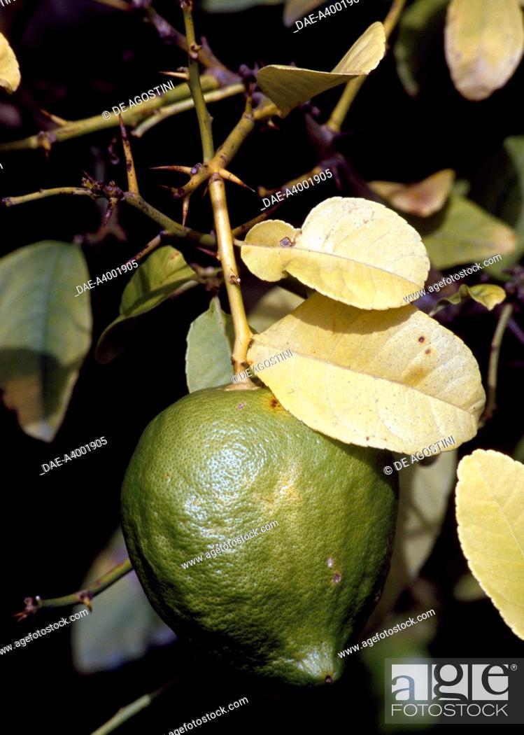Stock Photo: Citron (Citrus medica), Rutaceae, in the citron-tree grove of The Cedars Farm, Santa Domenica Talao, Calabria, Italy.