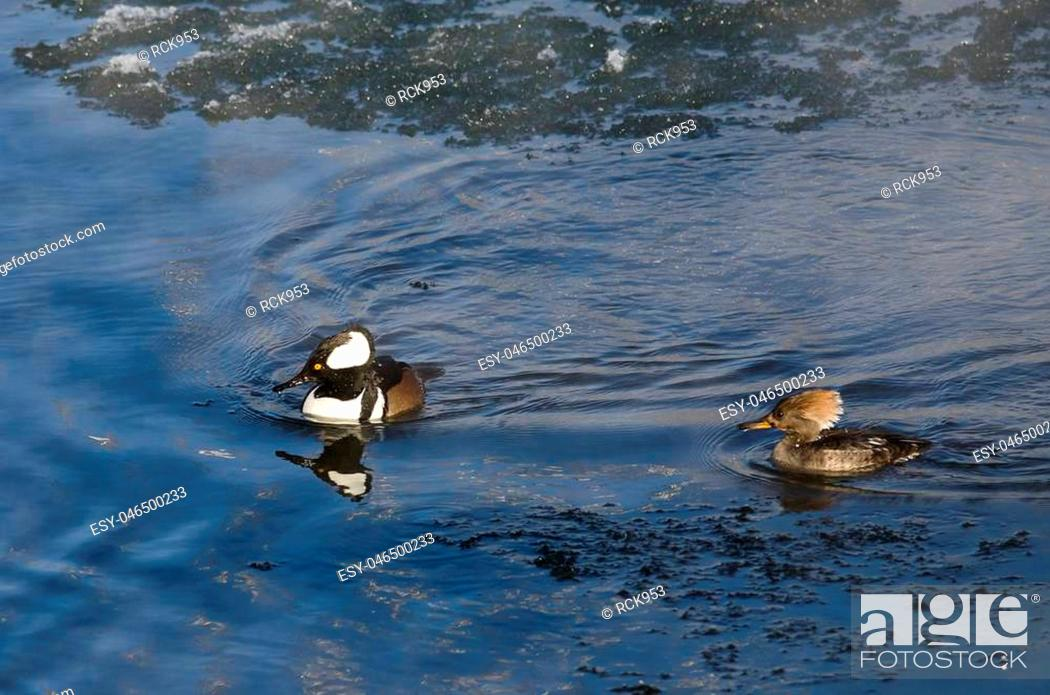 Stock Photo: Pair of Hooded Mergansers Swimming in a Cold Slushy Winter River.