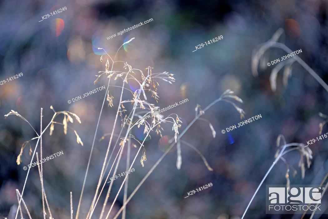 Stock Photo: Tufted hairgrass Deschampsia cespitosa with morning frost Greater Sudbury Ontario.