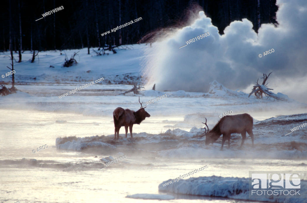 Imagen: Elks, and, geyser, Biscuit, Basin, Yellowstone, national, park, Wyoming, USA, Cervus, canadensis.