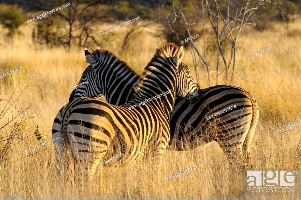 Stock Photo: Burchell's Zebra, Equus burchelli, Madikwe Game Reserve, South Africa.