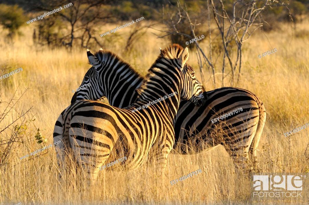 Stock Photo: Burchell's Zebra, Equus burchelli, Madikwe Game Reserve, South Africa.