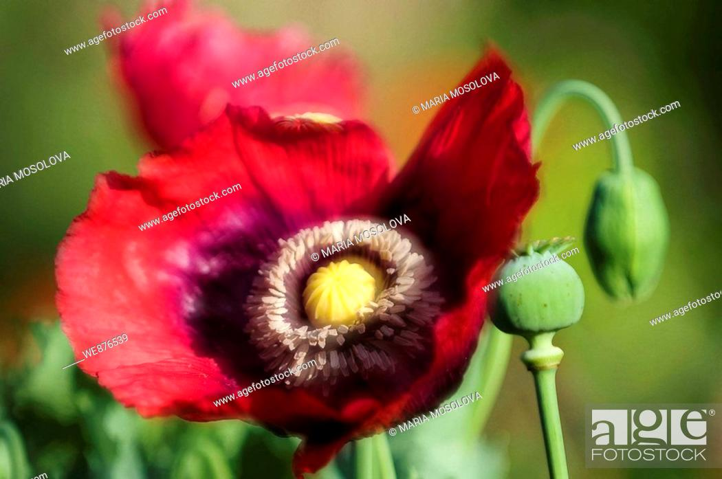Stock Photo: Stages of Life of Peony Poppy  Red Open Peony Poppy Flower, Seedhead and a Bud.