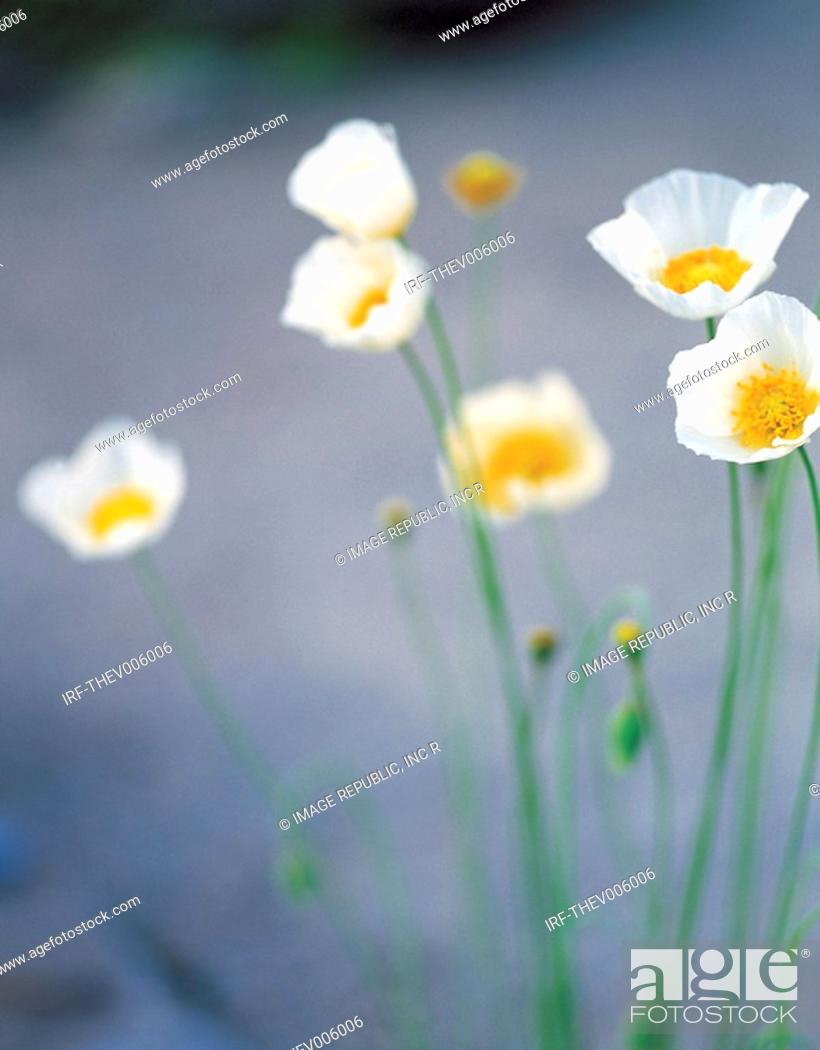Stock Photo: flower, Papaver coreanum.