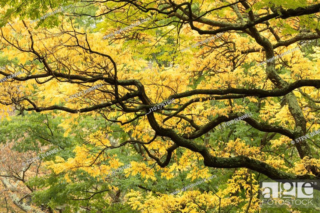 Stock Photo: Cork tree branches, Arnold Arboretum, autumn, Boston, Massachusetts, USA.