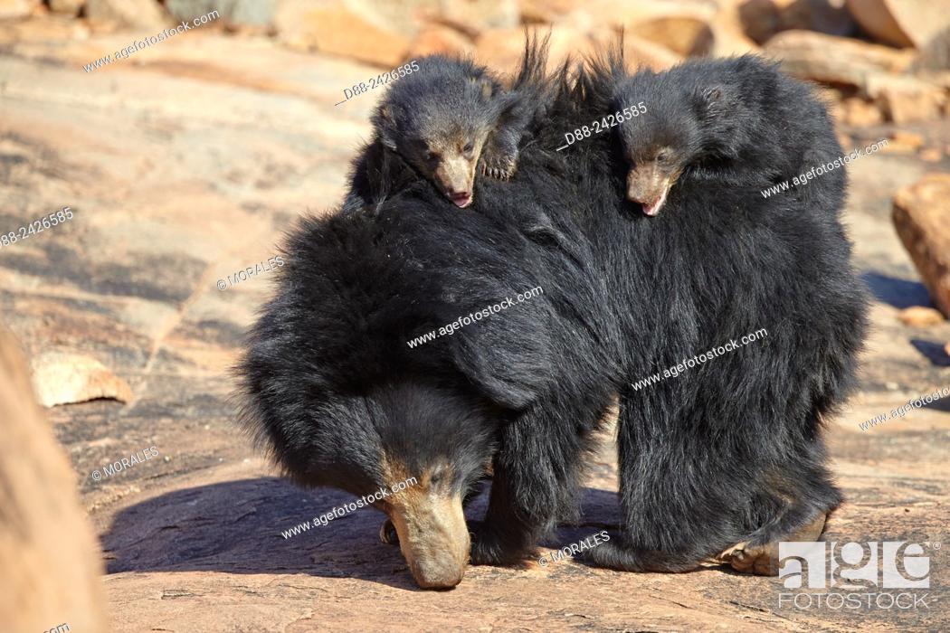 Stock Photo: AAsia, India, Karnataka, Sandur Mountain Range, Sloth bear Melursus ursinus, mother with baby, mother carrying babies on the back.