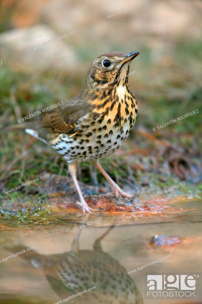Imagen: Song thrush (Turdus philomelos) in the Los Serranos region. Valencia.