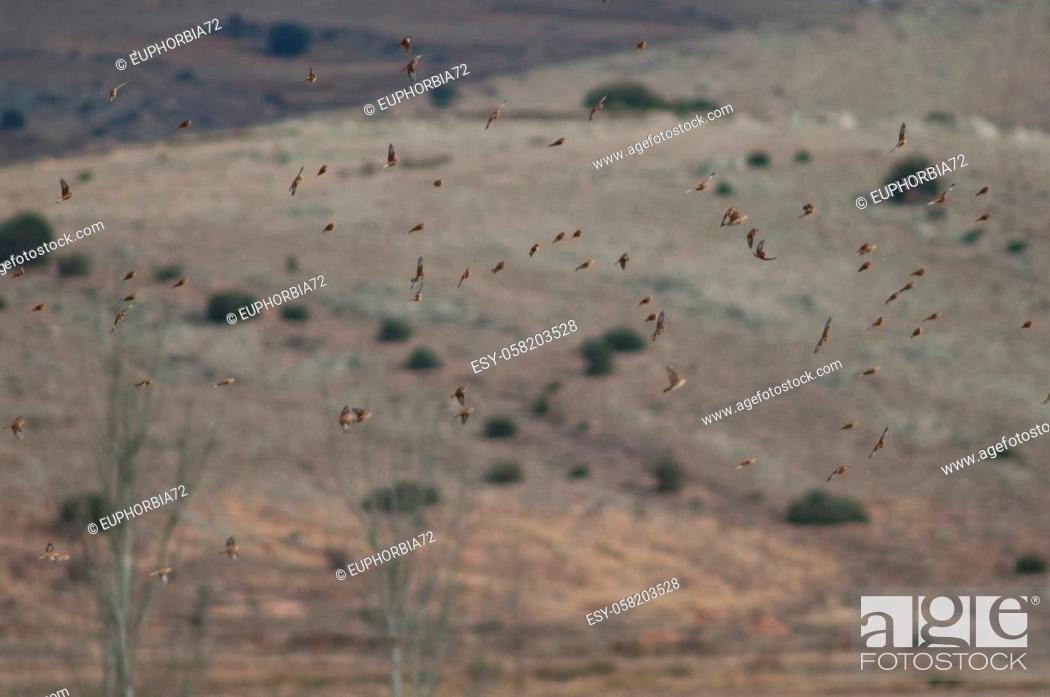 Stock Photo: Common linnets, rock sparrows, Eurasian tree sparrows and European goldfinches in flight. Gallocanta Lagoon Natural Reserve. Aragon. Spain.