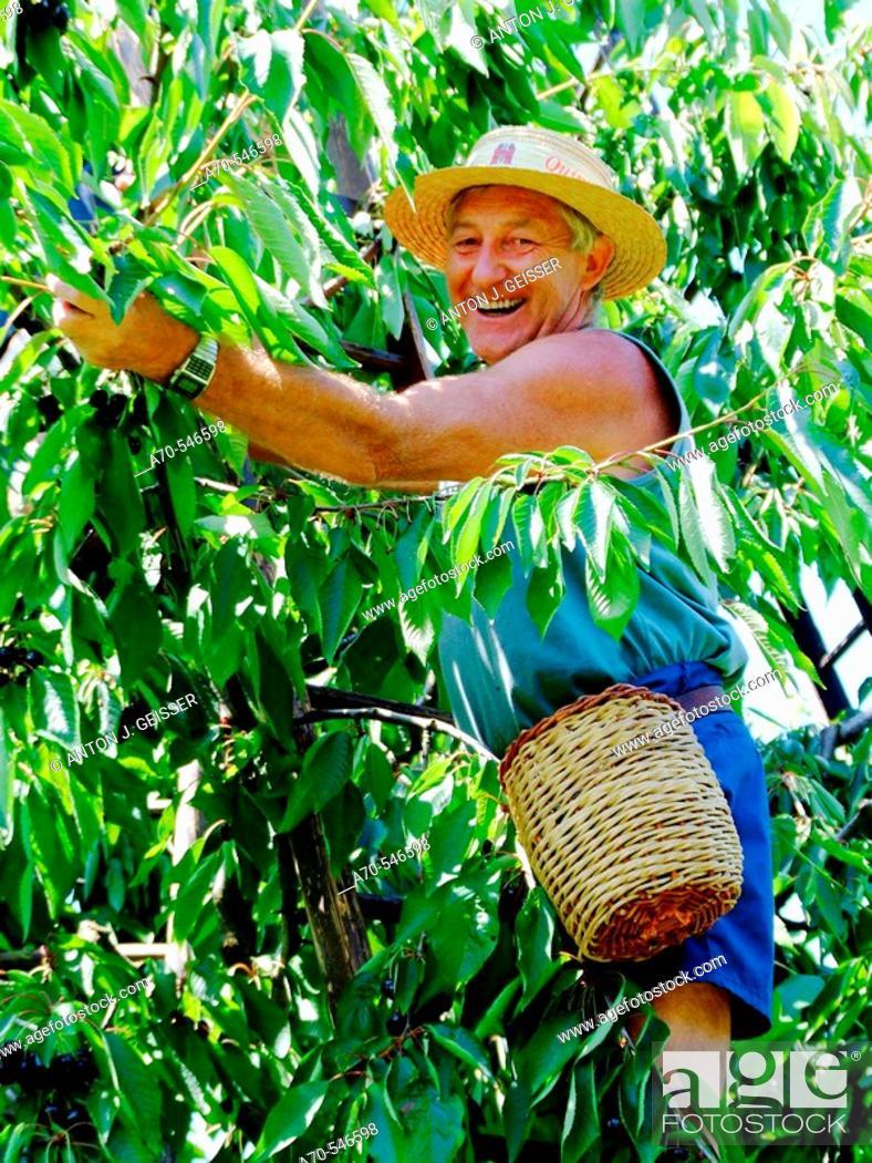 Stock Photo: Man picking cherries. Fricktal. Aargau. Switzerland.