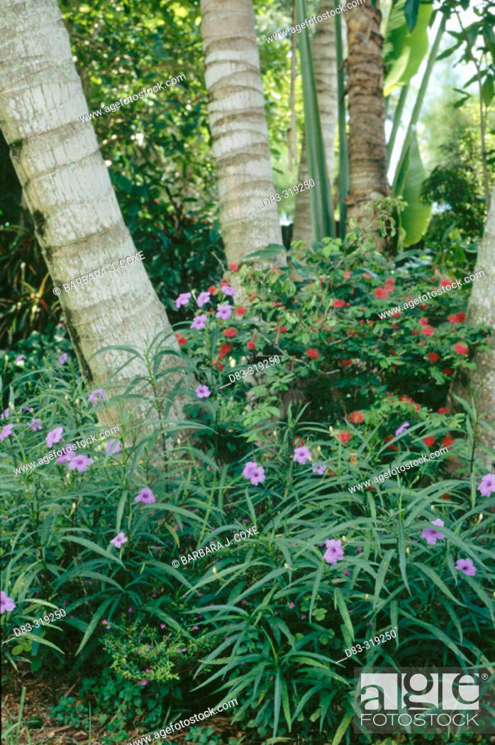 Stock Photo: Gardening. Blue flowered Ruellia and red calliandra in shade of palms. Tropical garden.